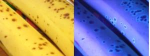 Banana-fluorescence-081108